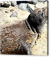 Young Elephant Seal Molting . 7d16118 Acrylic Print