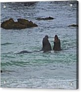 Young Elephant Seals Sparring Acrylic Print