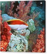 Young Forster's Hawkfish Acrylic Print