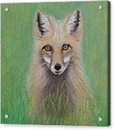 Young Fox Acrylic Print by David Hawkes
