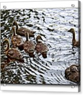 Young Geese Acrylic Print