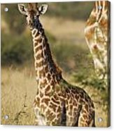 Young Giraffe In The Mara Acrylic Print by Alan Clifford