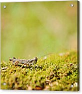 Young Grasshopper Acrylic Print