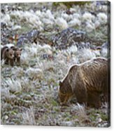 Young Grizzly Cubs Play As Their Mother Acrylic Print