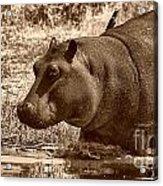 Young Hippo Acrylic Print