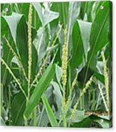 Young Leaves Of Corn Acrylic Print