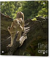 Young Lion Stalking Acrylic Print