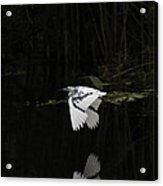 Young Little Blue Heron On The Loxahatchee River Acrylic Print