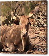 Young Longhorn Steer Acrylic Print