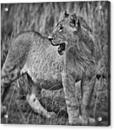 Young Male Lion Acrylic Print