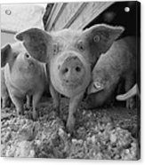 Young Pigs In A Snowy Pen. Property Acrylic Print