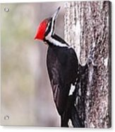 Young Pileated Woodpecker Acrylic Print