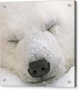 Young Polar Bear With Snow Dusted Acrylic Print
