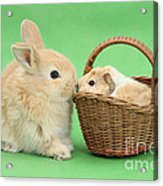 Young Rabbit With Baby Guinea Pig Acrylic Print