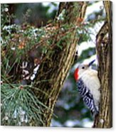 Young Red-bellied Woodpecker Acrylic Print