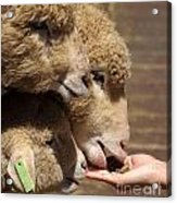 Young Sheep Are Hand Fed Acrylic Print
