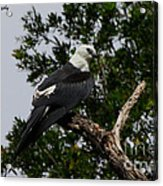 Young Swallow-tailed Kite Acrylic Print