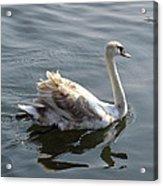 Young Swan Acrylic Print