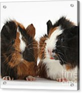 Young Tricolour Guinea Pigs Acrylic Print