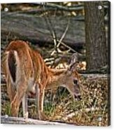 Young Whitetail Acrylic Print