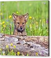Young Wolf Cub Peering Over Log Acrylic Print