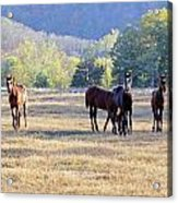 'youngsters In The Paddock' Acrylic Print by PJQandFriends Photography