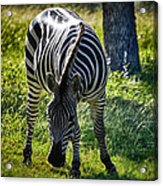 Zebra At Close Range Acrylic Print by Kelly Rader