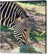 Zebra At Lunch Acrylic Print