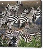 Zebra At Waterhole Acrylic Print