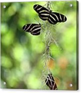 Zebra Butterflies Hanging Out Acrylic Print