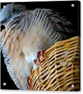 Zebra Dove From Above Acrylic Print