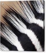 Zebra Equus Quagga Mane, Khama Rhino Acrylic Print