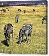 Zebra Grub Acrylic Print