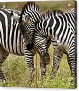 Zebra Hug Acrylic Print