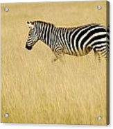Zebra In Grasses Acrylic Print