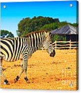 Zebra In The Grassland  Acrylic Print