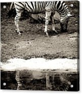 Zebra Reflection  Acrylic Print