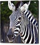 Zebra Symmetry  Acrylic Print