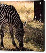 Zebra Take One Acrylic Print