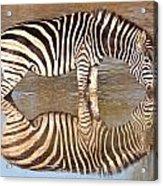Zebra Times Two Acrylic Print
