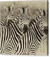 Zebra Trio Acrylic Print