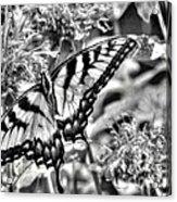 Zebra Wings Acrylic Print