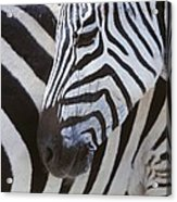 Zebras Close Up Acrylic Print