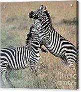 Zebras Fighting Acrylic Print by Alan Clifford