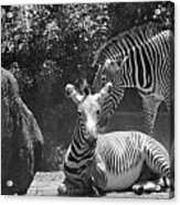 Zebras In Black And White Acrylic Print
