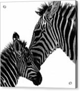 Zebras Mom And Baby Acrylic Print