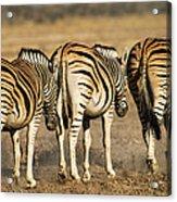 Zebras Three Acrylic Print