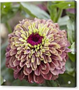 Zinnia Elegans Queen Red Lime Variety Acrylic Print