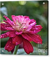 Zinnia Quenched Acrylic Print