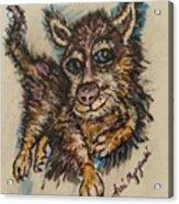 Blue Eyed Husky Acrylic Print